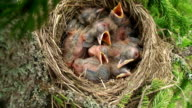 Fieldfare (Turdus pilaris) Chicks in the Nest