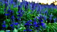 Fields of Blue Salvia flower in the evening light.