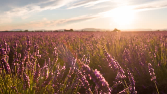 Fields of lavender dancing in the wind