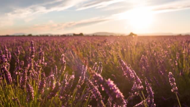 Lavendel-, die im Wind
