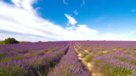 Fields of lavender in the summer time