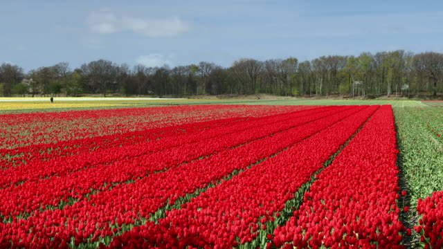 Fields of tulips, Lisse, South Holland, Netherlands, Europe