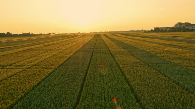 AERIAL Fields of wheat at sunset
