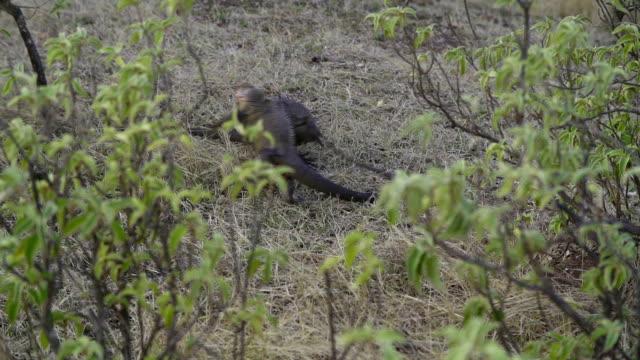 Fighting iguana