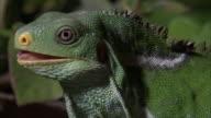 Fijian crested iguana (Brachylophus vitiensis) looks around, Fiji