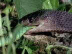 CU File Snake eats Green Bush Snake, Kenya, Africa