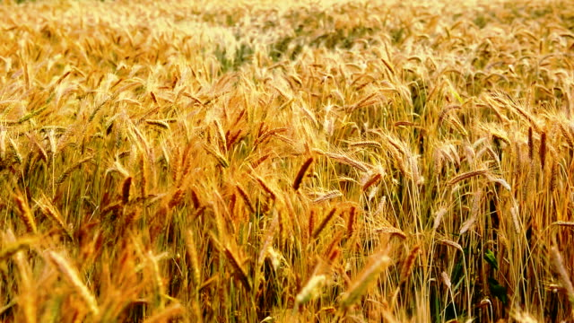 Filed of wheat