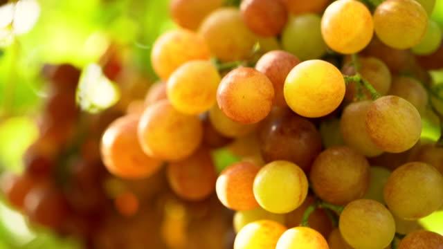 Film Tilt Down:White Grapes In Vineyard