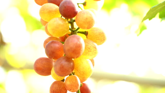 Film Tilt Up:White Grapes In Vineyard