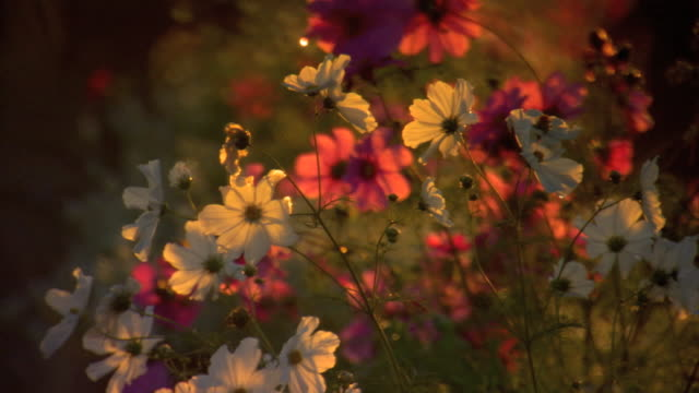 Pink white flowers growing out of ground moving softly in wind PULL FOCUS REVEALS row of flowers