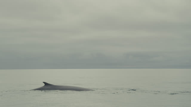 Fin whale (Balaenoptera physalus) surfaces and spouts in Irish sea, Ireland