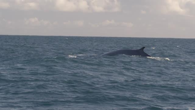 Fin whale (Balaenoptera physalus) surfaces in Irish sea, Ireland