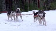 Finland - Huskies pulling sleigh through woods