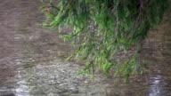 HD: Tannenarten über dem Fluss