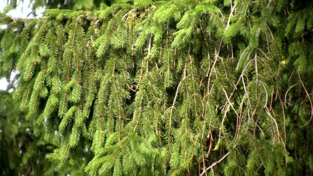 HD: Fir tree