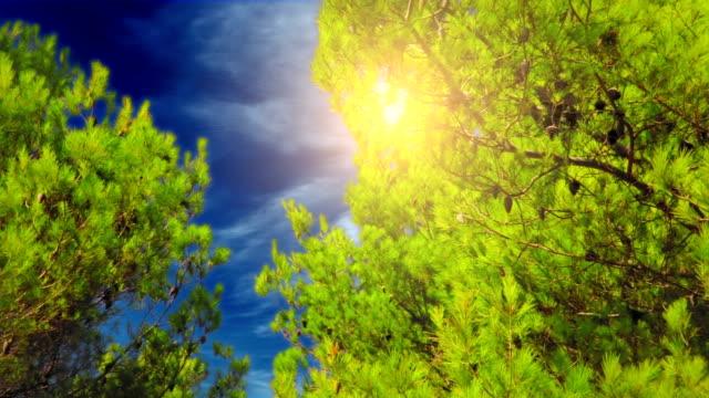 Fir trees in blue sky