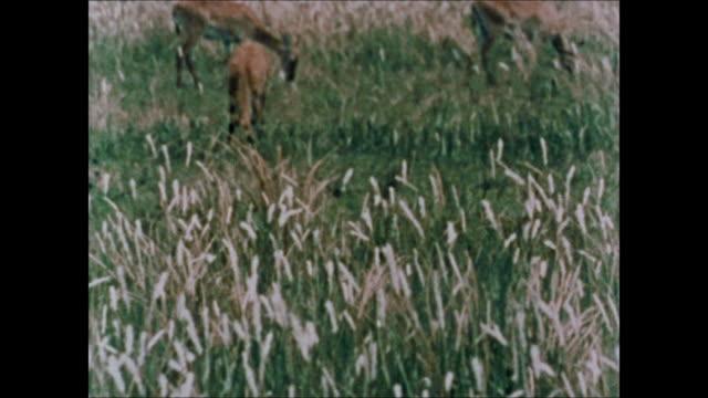 Fire ZO WS Burning dried grassland TU Green grassland w/ grazing gazelles Pair of Gerenuk standing together watching antelopes impalas warthog single...