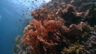 Fire coral red sea