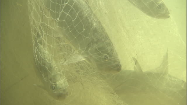 Fish caught in net, Madras Crocodile Bank Trust, India Available in HD.