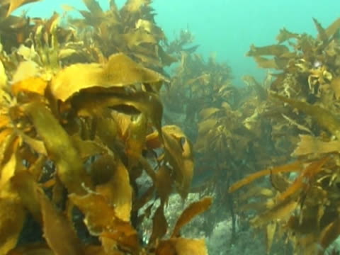Fish POV low angle CU as if fish swimming down into and through kelp