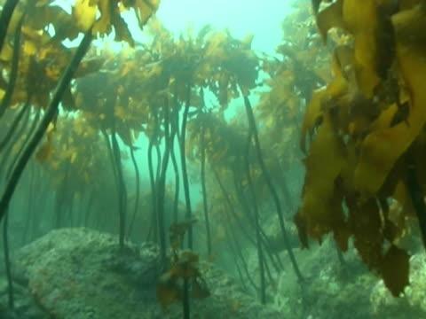 Fish POV low angle CU as if swimming through kelp
