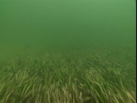 Fish swim along a weedy seabed.
