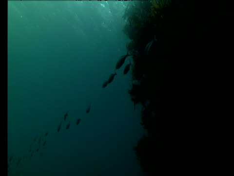 Fish swim around a reef in the ocean near Poor Knights Island in New Zealand.