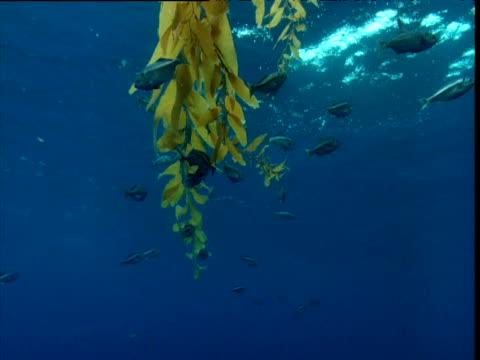 Fish swim past kelp floating at water's surface, California