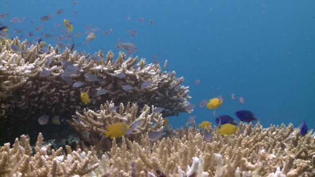 Fish swimmig over table coral (Acropora sp.), Southern Visayas, Philippines