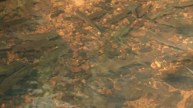 Fish swimming in the creek
