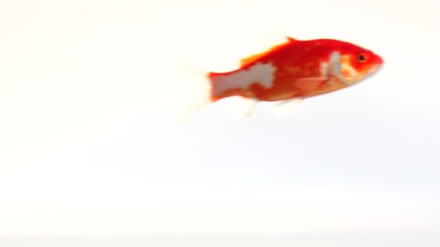 Fish (HD 1080)