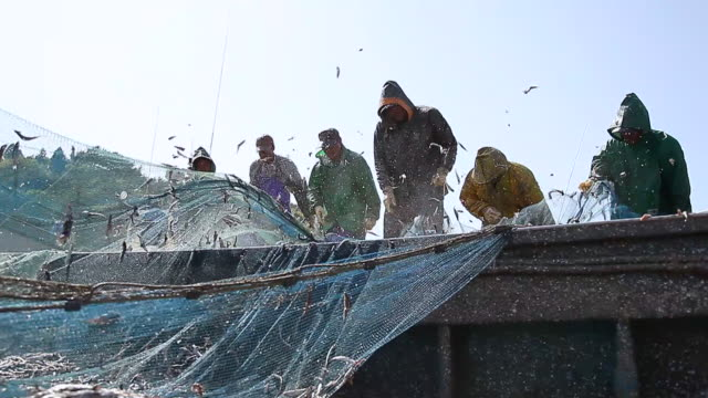 MS Fishermen collecting Anchovy fish in to fishing net at Geojedo port / Boseonggun, Jeollanam-do, South Korea