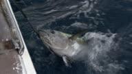 Fishermen haul yellowfin tuna (Thunnus albacares) onto fishing boat, New Zealand