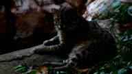 fishing cat (Prionailurus viverrinus ) , Tiger family in Thailand