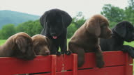 CU PAN Five Labrador puppies in toy wagon on meadow, Sunderland, Vermont, USA