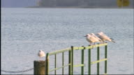 Five seagulls perched on railing at Mondsee lake