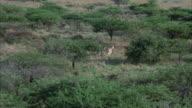 LOW AERIAL five zebras running