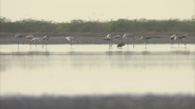 A flamboyance of Flamingos feeding on Plankton in the Salt flats