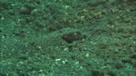 Flamboyant Cuttlefish buried, only eye visible, raises slightly. Indonesia