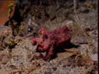 Flamboyant cuttlefish changes colour and swims away, Papua New Guinea
