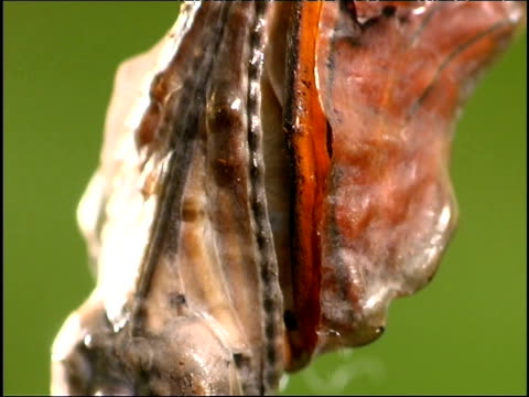 Flame butterfly begins to emerge from its chrysalis