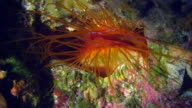 Flame shell under water in Philippines