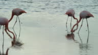 Flamingo in the Galapagos