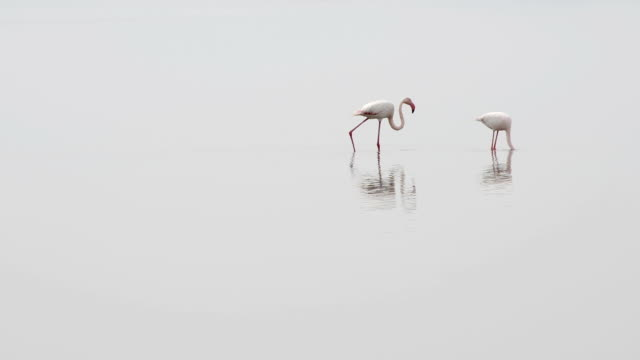 Flamingo pair feeding