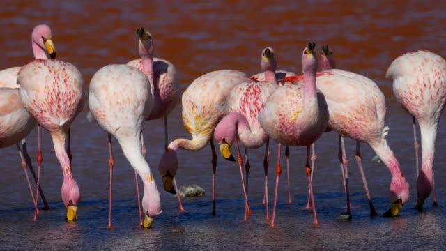 Flamingos Drinking in Bolivia