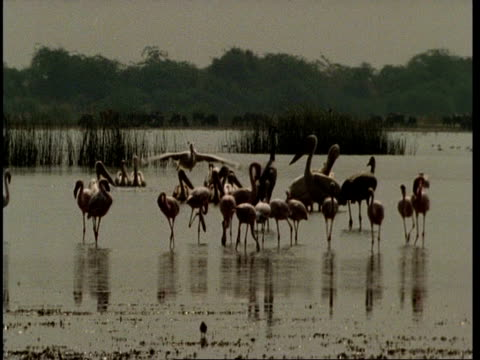 MWA Flamingos & Flamingos, Track 1 Pelican as it takes off, flies over and lands in water, Gujarat, India