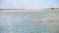 WS Flamingos In der Lagune