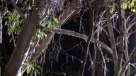 Flatid leaf bug larvae (Phromnia rosea) excrete honey dew on tree branch at night, Madagascar