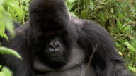 Flies buzz around a silverback mountain gorilla. Available in HD.