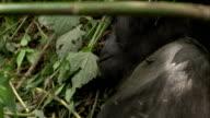 Flies buzz around a sleeping mountain gorilla. Available in HD.